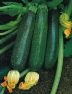 Courgette F1 Ambassador - 20 seeds - Vegetable